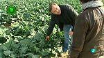 Agrosfera - Con mucho gusto - El cultivo de brócoli