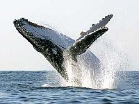 Espectaculares saltos de ballenas en Australia