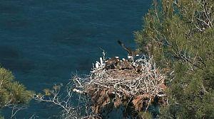 Fauna amenazada: águila pescadora