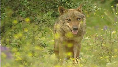 La Junta de Castilla y León  subasta en Internet la caza de ocho lobos