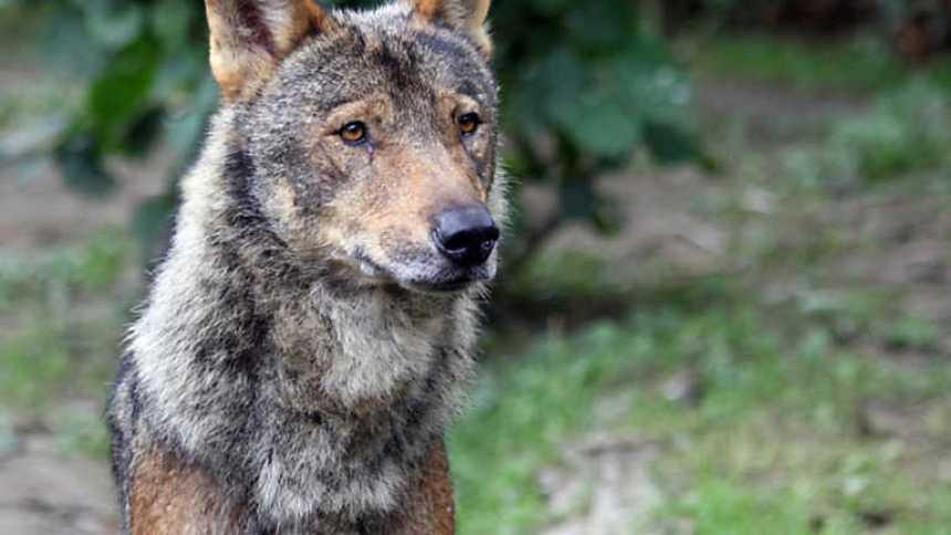 Crónicas - De lobos y hombres