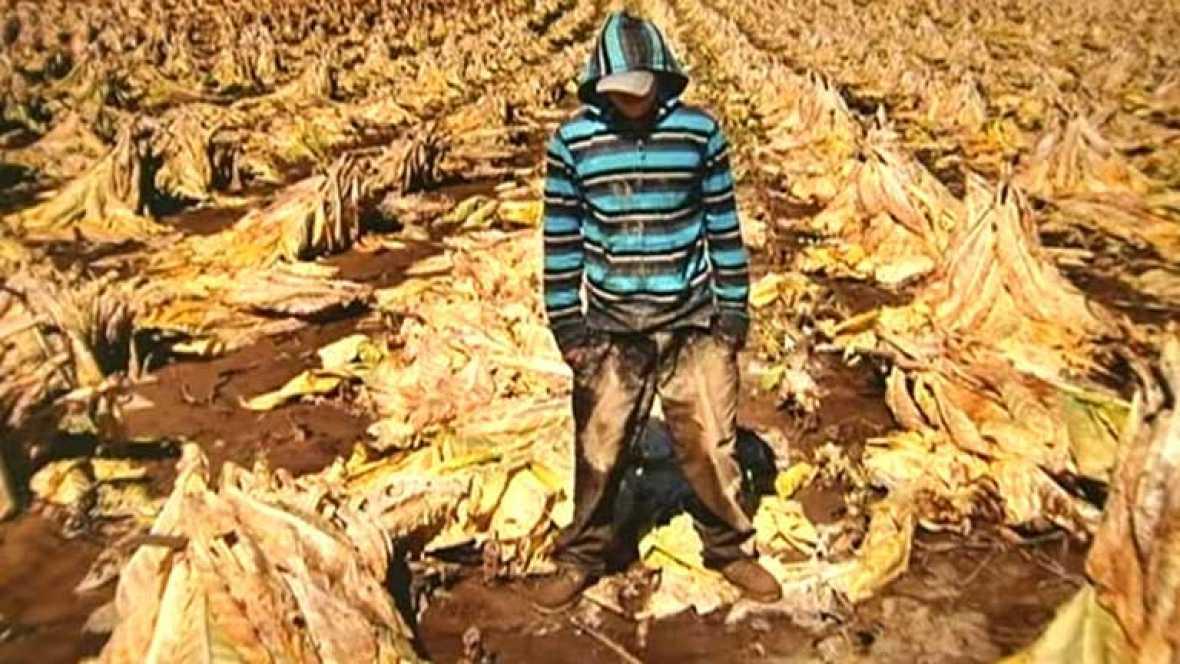 Trabajo infantil: miles de niños son explotados por las tabacaleras en Estados Unidos