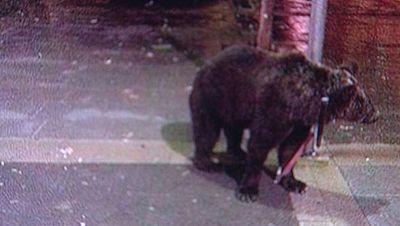 Un domador deja a su oso atado a una farola para irse a un bar