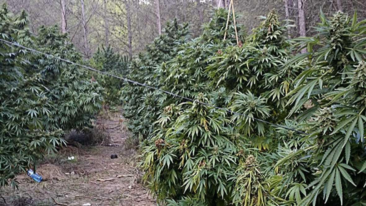 El Alt Empordà, una de las principales zonas de cultivo ilegal de marihuana de España