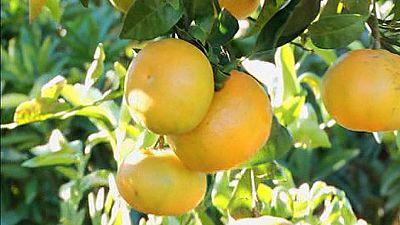 """""""Clemenules"""" mandarinas de calidad"""