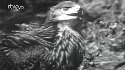 Fauna - El �guila imperial