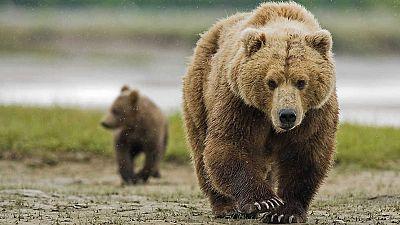 Grandes documentales - Los grizzlies gigantes - Ver ahora