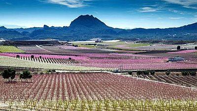 Los melocotoneros tiñen de color los campos de Cieza, en Murcia