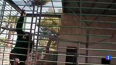 Continúa la búsqueda del chimpancé Adán, tres días fugado del zoo de Mallorca