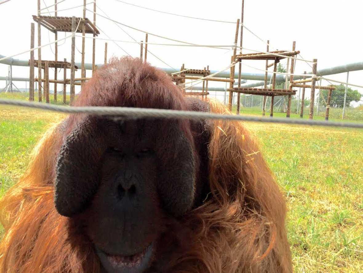 """La segunda oportunidad de estos primates tan """"monos"""""""