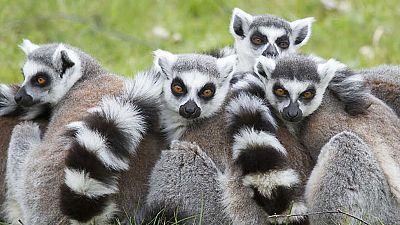 Grandes documentales - La isla de los lemures - ver ahora