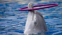 El escarabajo verde - Delfines en tierra (2) - ver ahora