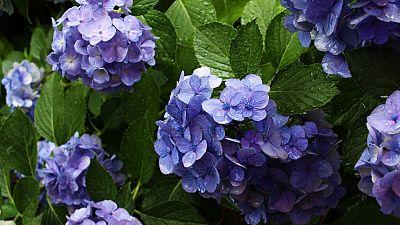 Los Consejos de Maxi - Centro floral de hortensias