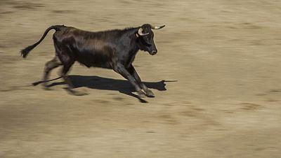 Vaca a la fuga en Les Coves de Vinrom�