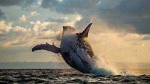 En la zona de alimentacion de las ballenas jorobadas