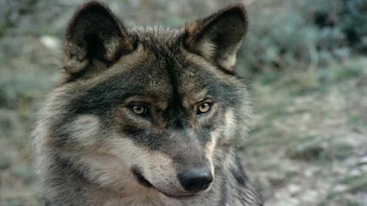 El hombre y la Tierra (Fauna ibérica) - El hombre y el lobo - Ver ahora