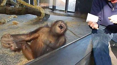 La carcajada de un orangután del zoo de Barcelona da la vuelta al mundo