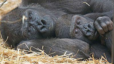 Isabel Muñoz: tres años fotografiando a grandes simios