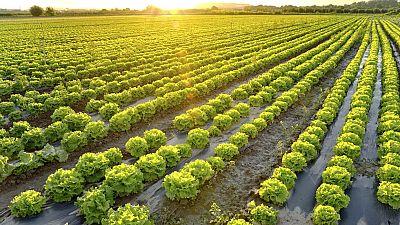 Las cosechas de hortalizas se adelantan por el calor