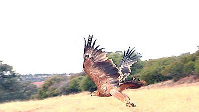 Un GPS que monitoriza la actividad de las águilas podría solucionar su alta mortandad por envenenamiento