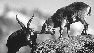 Fauna - Cabras montesas