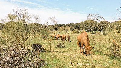 Bisontes en Extremadura