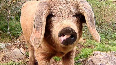 El gochu, un cerdo muy apreciado