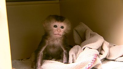 Macaco criada a biberón en el zoo de Santillana del Mar