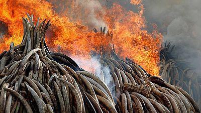 Kenia lucha contra la caza furtiva y el mercado negro del marfil