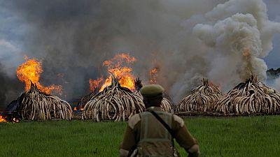 Kenia declara la guerra a los furtivos quemando 105 toneladas de marfil