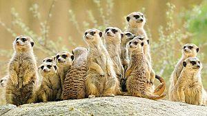 Los suricatos 3D