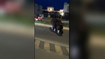 Un hipopótamo se escapa de un circo y se pasea por el municipio de Palos de la Frontera en Huelva sin causar daños