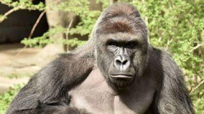 Matan a un gorila en un zoo de EE.UU para salvar a un niño