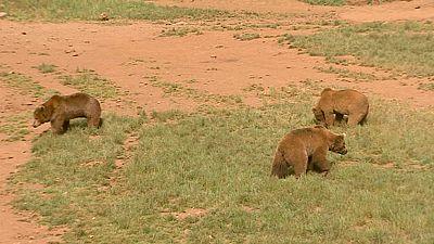 A la búsqueda del oso fugado en Cabárceno