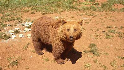 �Se ha escapado un oso de Cab�rceno?