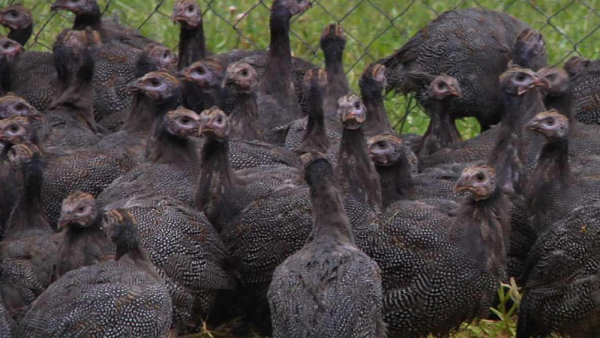 ¿Conoces a las gallinas de Guinea?