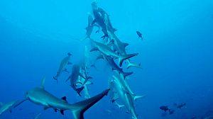 Tiburones del cañón de coral