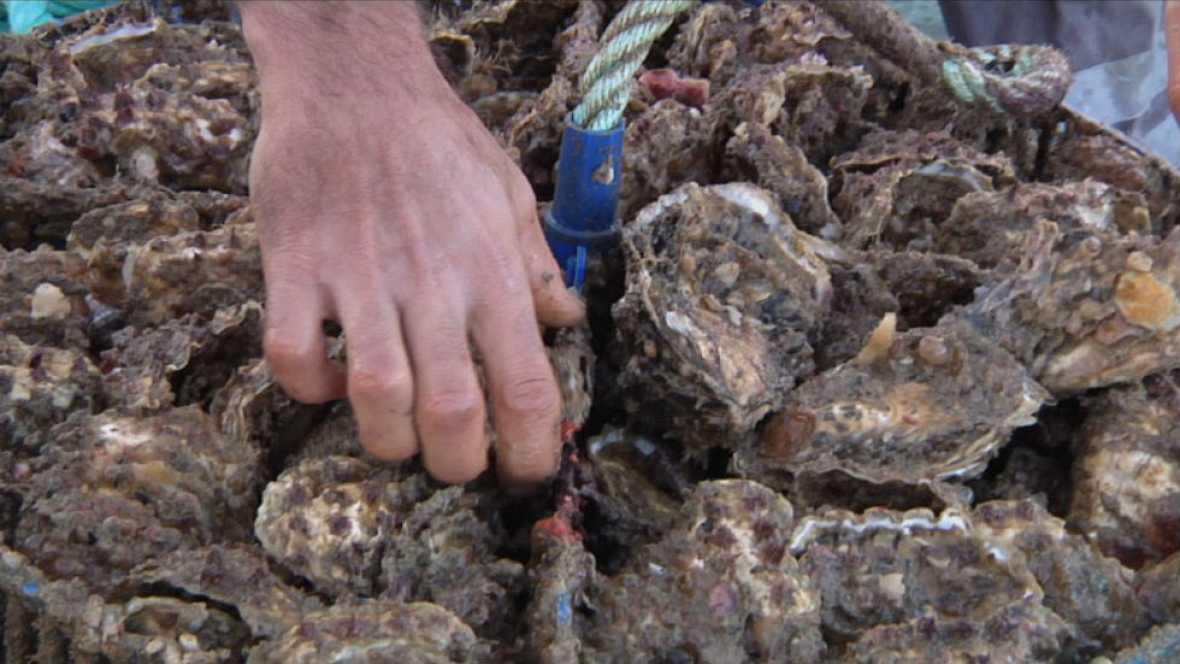 "Las ostras ""premium"" de Cádiz"