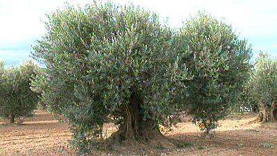 Un equipo de investigadores logra descifrar el genoma completo del olivo