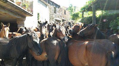 Sabucedo celebra a rapa das bestas