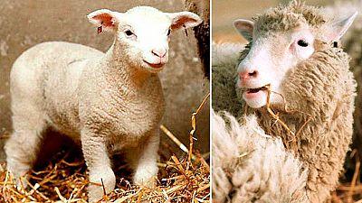 Se hacen 20 años del aniversario de la oveja Dolly por transferencia nuclear