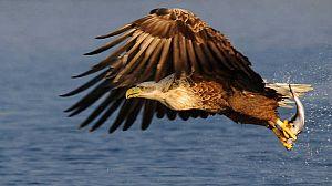 El rey de los mares. El águila marina