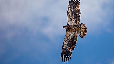 Grandes documentales - El Rey de las montañas: El águila real - ver ahora