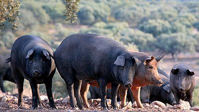 """La denominación de """"pata negra"""" podrá utilizarse siempre que sea cerdo ibérico 100% y alimentado con bellota"""