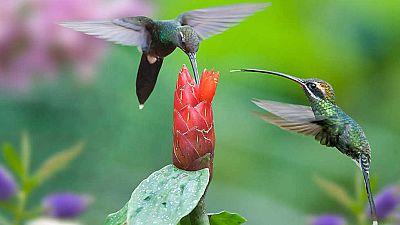 Grandes documentales - Los colibr�es. Preciosos mensajeros - ver ahora