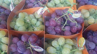 Vinalopó ya recoge las uvas de Nochevieja