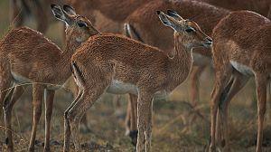 Las aventuras de Swala Pala, el pequeño Impala