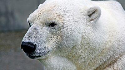 Un grupo de osos polares acosa a cinco científicos de una estación meteorológica rusos en una isla del Ártico