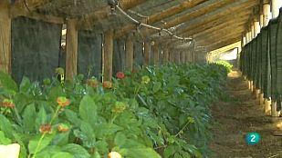 Agrosfera - En primer plano - Ginseng coreano en Soria
