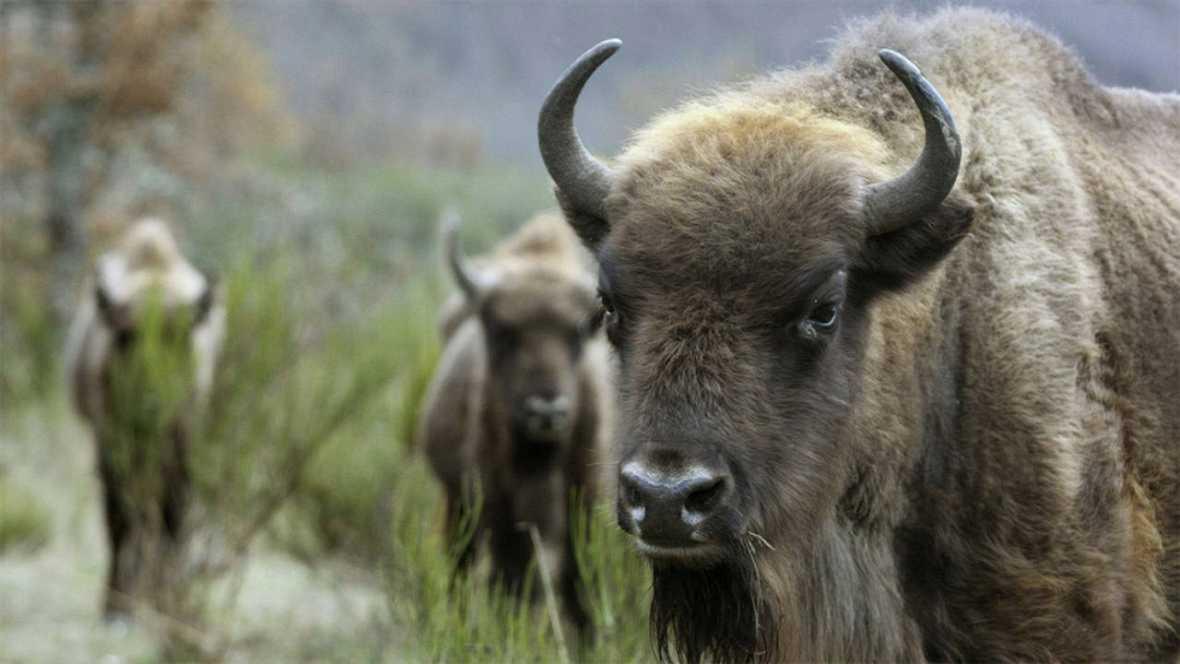 El macho alfa de la manada de bisontes de la Reserva de Valdeserrillas, de 800 kilos, ha sido encontrado decapitado. Quien lo mató se llevó además la cabeza del animal, ya que no ha sido encontrada. Otros tres ejemplares de la manada se encuentran en